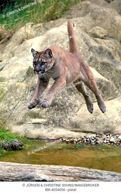 Puma, Cougar or Mountain Lion (Felis concolor), adult, jumping over water, native to America, captive, England, United Kingdom