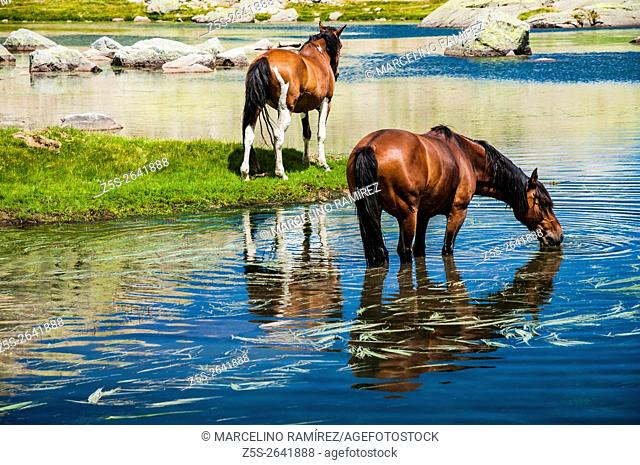 Horses refreshing on a hot morning. Circus of Gredos, Hoyos del Espino, Ávila, Castilla y León. Spain, Europe