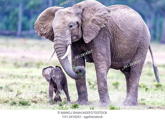 mother and baby Elephant grazing. Masai Mara National Reserve, Kenya