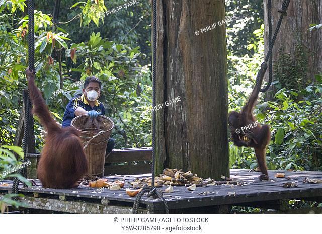 Feeding time at the Sepilok Orangutan Rehabilitation Centre, Sepilok, Sabah, Malaysian Borneo