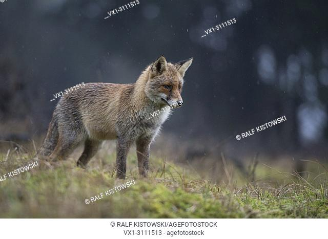 Red Fox / Rotfuchs ( Vulpes vulpes ) adult, hunting on a clearing in front of a dark forest, concentrated watching, pointed ears, rainy day, at dawn, wildlife