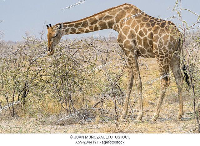 Giraffe (Giraffa camelopardalis). Etosha National Park. Namibia. Africa