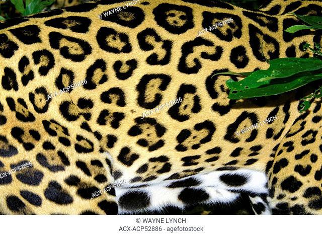 Jaguar Panthera onca coat pattern, tropical rain forest, Belize, Central America