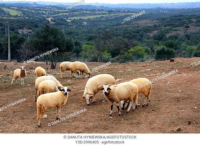Sheep on pastures, hills near Barão de São João, concelho Lagos, Western Algarve, Algarve, Southern Portugal, Portugal, Europe