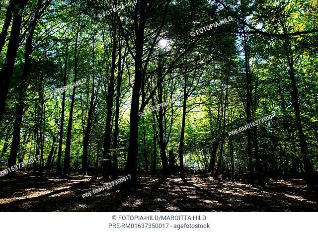 Beeches at ancient forest of Sababurg, Reinhardswald, Kassel district, Hesse, Germany / Buchen im Urwald Sababurg, Reinhardswald, Landkreis Kassel, Hessen