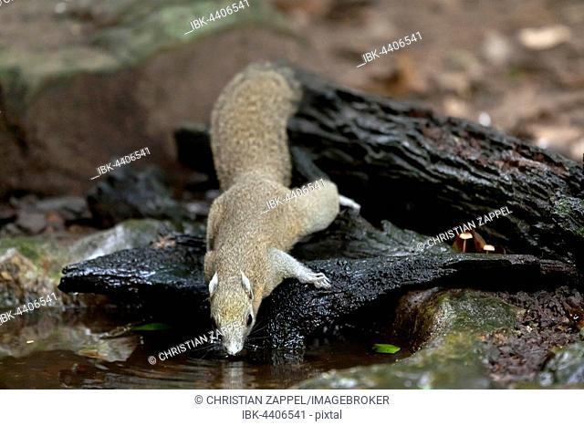 Grey-bellied squirrel (Callosciurus caniceps) drinking, Kaeng Krachan National Park, Phetchaburi, Thailand