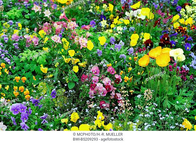 Pansy, Pansy Violet (Viola x wittrockiana, Viola wittrockiana, Viola hybrida), multicoloured cultivars in a flower bed in spring