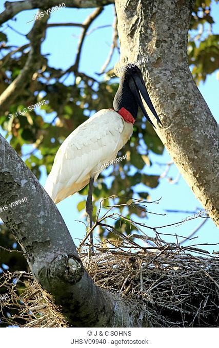 Jabiru, (Jabiru mycteria), adult on nest, Pantanal, Mato Grosso, Brazil, South America