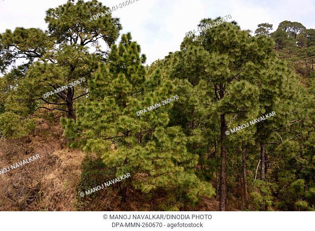 pine trees, dharampur, himachal pradesh, India, Asia