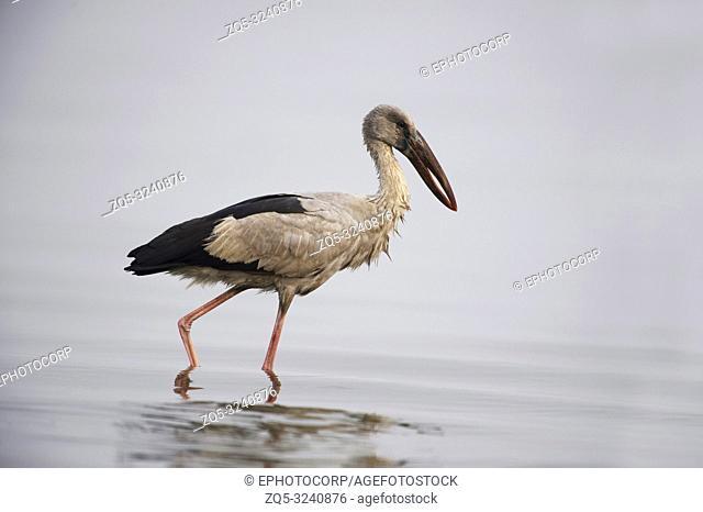 Openbill stork, Anastomus oscitans, Bhigwan, Maharashtra, India