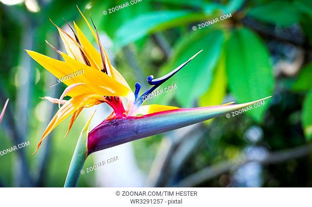 Bird Of Paradise plant (Strelitzia reginae) in full bloom in tropical garden