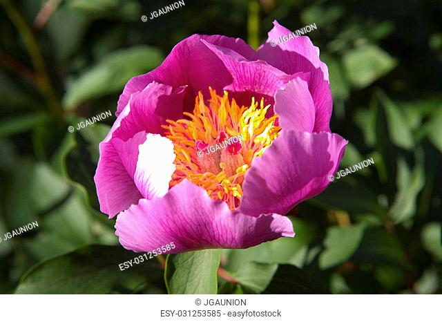 Peony flowers sprouting on the Alor mountains hills