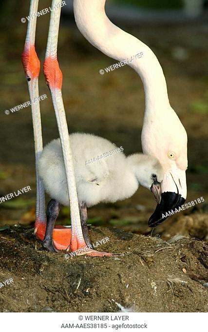 Chile-Flamingo (Phoenicopterus chilensis)