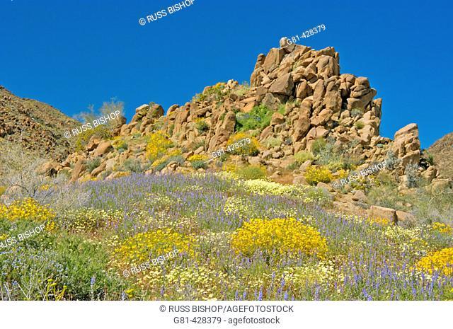 Lupine (Lupinus sparsiflorus), Brittlebush (Encelia farinosa), and Desert Dandelion (Malacothrix glabrata) in the Cottonwood Mountains