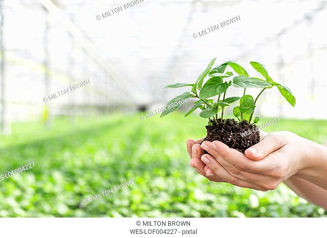 Hands in greenhouse holding herbal plant