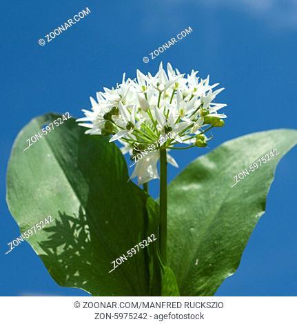 Baerlauch; Allium; ursinum;