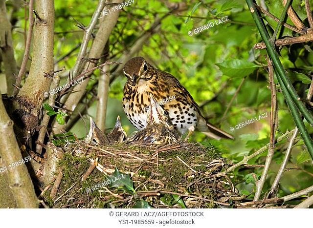 Song Thrush, turdus philomelos, Adult with Chicks at Nest, Normandy