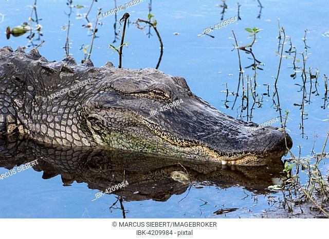 American alligator (Alligator mississippiensis), Anhinga Trail, Everglades National Park, Florida, USA
