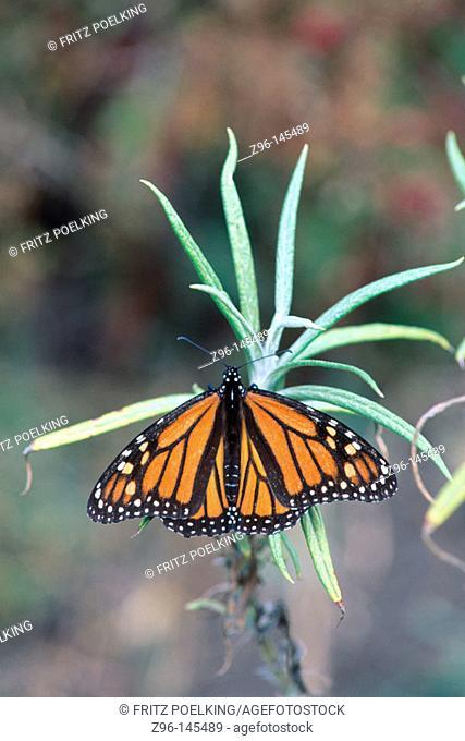 Monarch butterfly (Danaus plexippus). El Rosario. Mexico