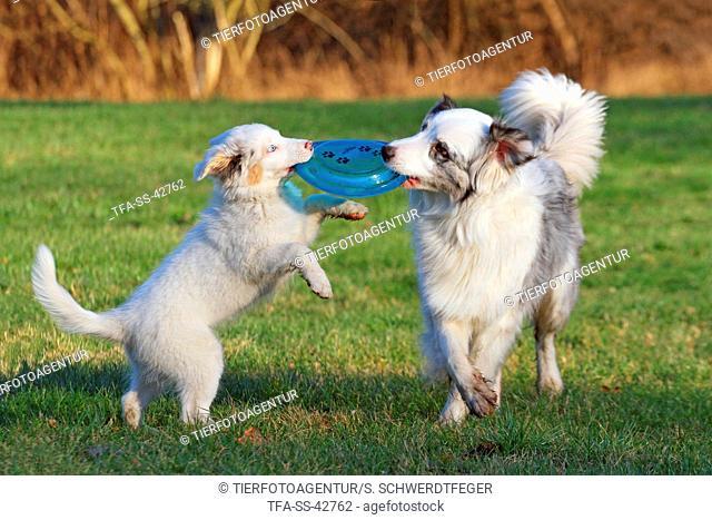 2 playing Australian Shepherd