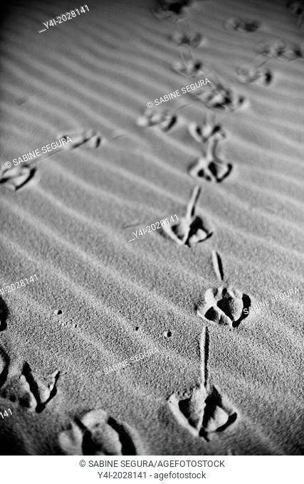 Bird footprints in the sand. Pyla sur mer. Gironde. Aquitaine. France. Europe