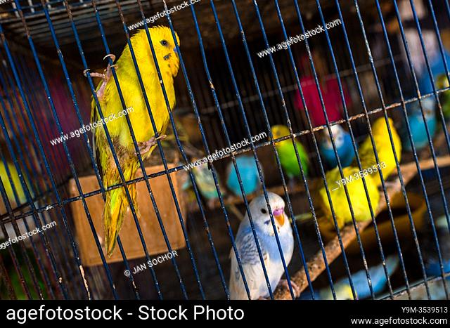 Pet birds (budgerigar parrots) are seen inside a birdcage in the bird market in Barranquilla, Colombia, 9 December 2018. Keeping caged birds in houses