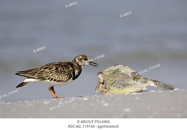 Ruddy Turnstone and fish Florida USA Arenaria interpres side