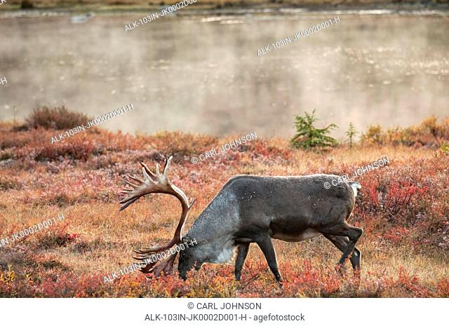 Bull caribou browses amidst the Autumn tundra on the north side of Wonder Lake in Denali National Park & Preserve, Interior Alaska, Fall