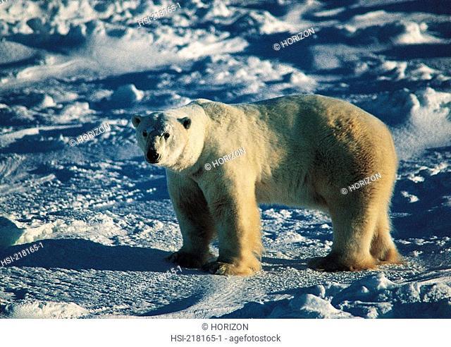 Wildlife, Polar Bear, Canada, Manitoba