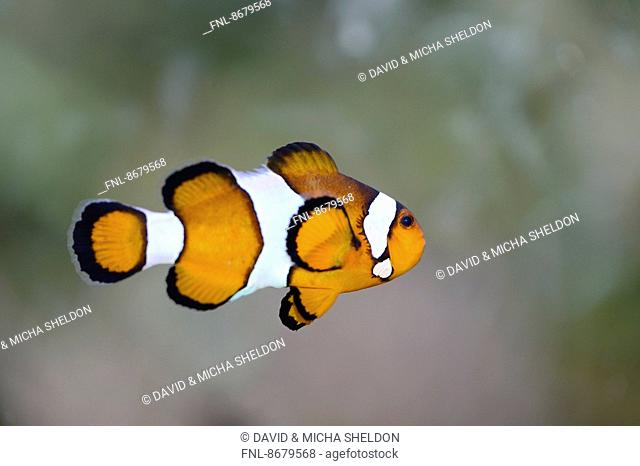 Close-up of a False Percula clownfish (Amphiprion ocellaris)