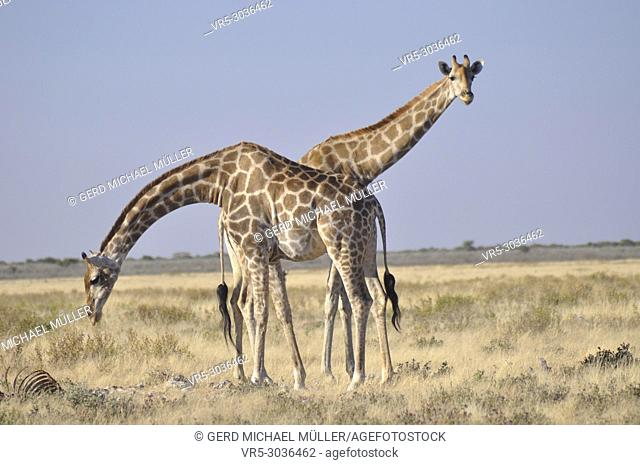 Two giraffes performing for a lovely picture in Etosha National Park. Namibia
