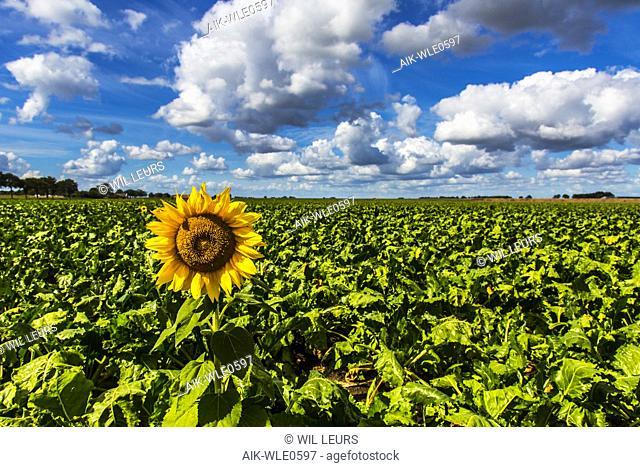 Sunflower, Zonnebloem, Helianthus annuus
