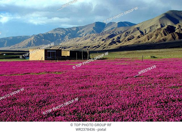 Xinjiang purple flowers