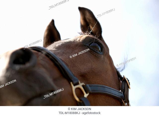 An Arabian horse wearing a halter, view from below