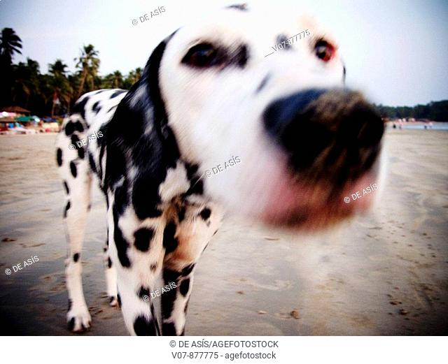 Dalmatian dog, Hampi, Karnataka, India