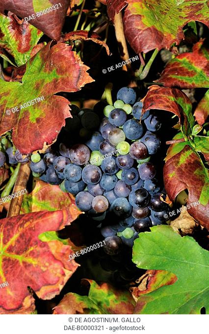 Bunches of black grapes, Oltrepo Pavese, Lombardy, Italy