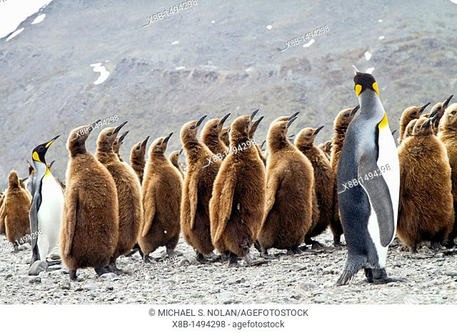 King penguins Aptenodytes patagonicus in downy plumage often called 'okum boys' on South Georgia Island, Southern Ocean  MORE INFO The king penguin is the...