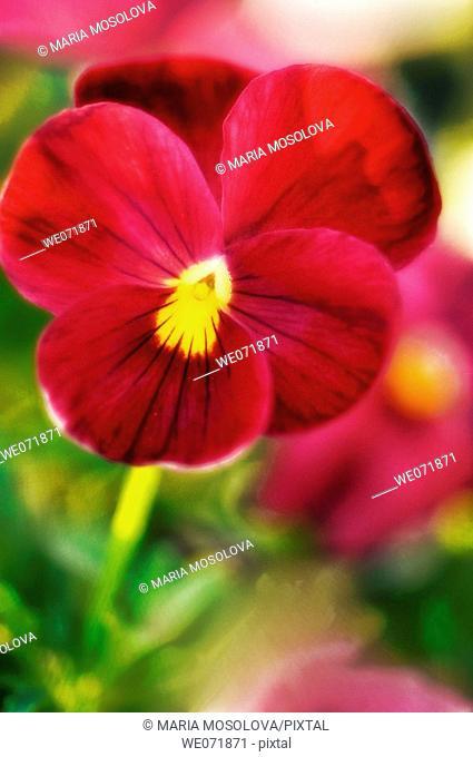 Red Pansy Flower. Viola x wittrockiana. April 2007, Maryland, USA