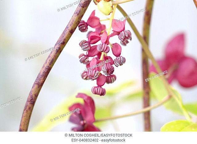 The foliage and flowers of the Akebia Quinata plant, also known as the Chocolate Vine