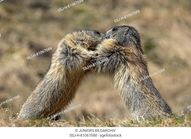 Alpine Marmot (Marmota marmota). Two individuals fighting. Carinthia, Austria
