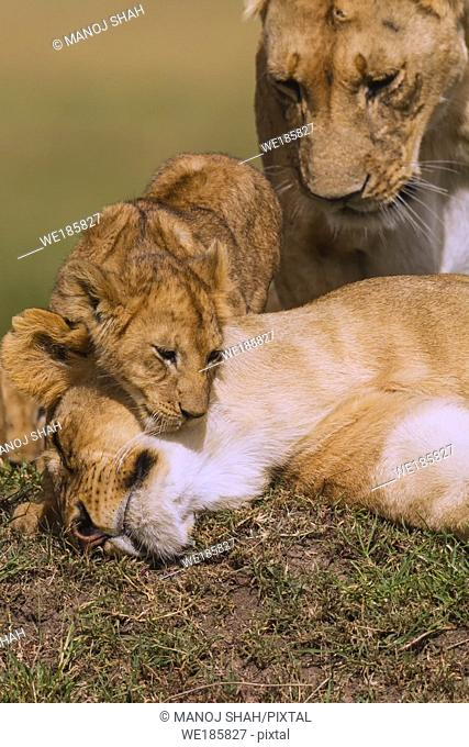Lion cub greeting mother