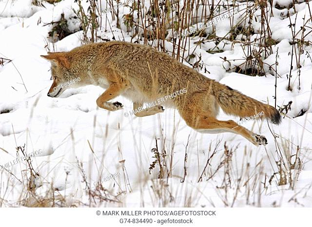 A coyote leaps for prey, USA
