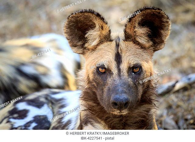 African wild dog (Lycaon pictus), portrait, South Luangwa National Park, Zambia