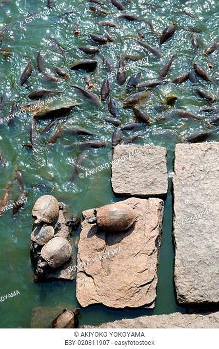 Sunbathing turtles on rocks and carp in pond of park