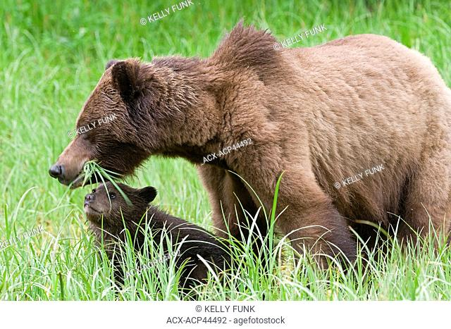 A sow Grizzly ursus Arctos enjoys the high protein Sedge grasses while her young cub looks up in the Khutzeymateen protected Grizzly preserve