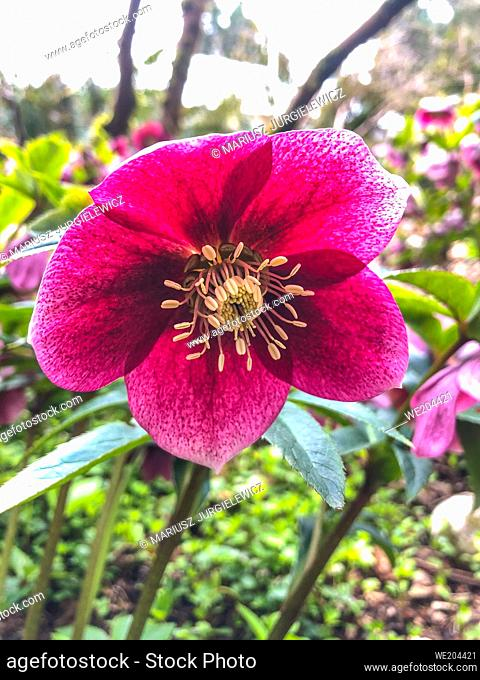 Lenten rose (Helleborus orientalis) is a perennial flowering plant and hellebore species in the buttercup family, Ranunculaceae, native to Greece and Turkey