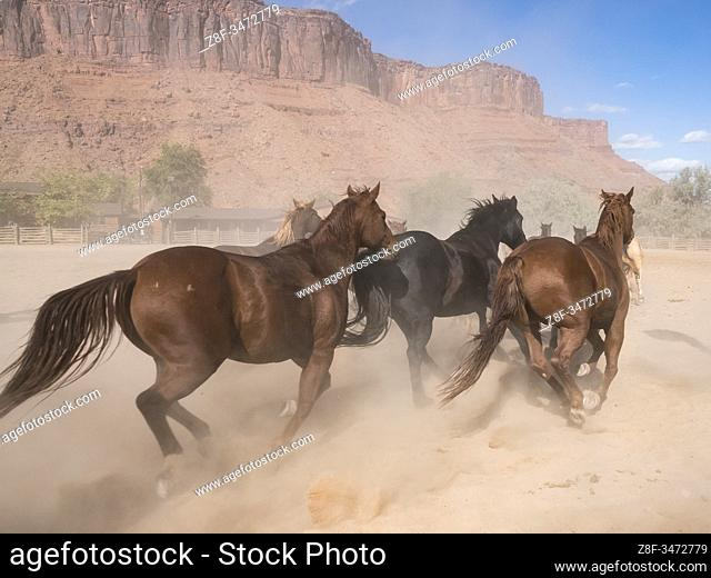 A herd of saddle horses kick up a cloud of dust as they are herded on the Red Cliffs Ranch near Moab, Utah