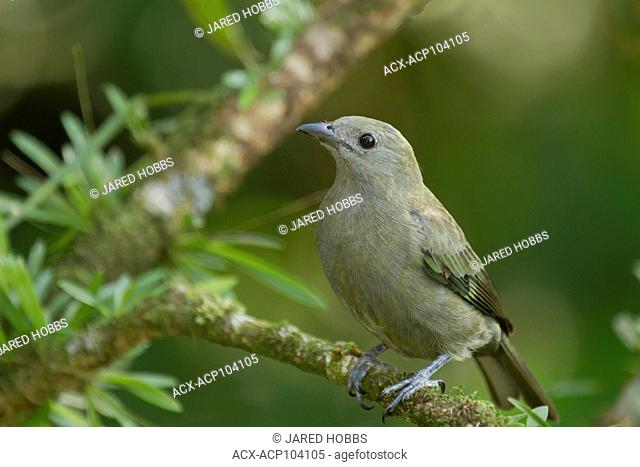 Palm Tanager, Thraupis palmarum, Central America, Costa Rica