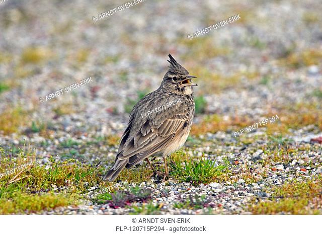 Crested lark Galerida cristata male sitting on the ground and calling, Germany