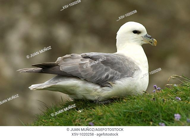 Fulmar (Fulmarus glacialis). Shetland Islands. Scotland. United Kingdom